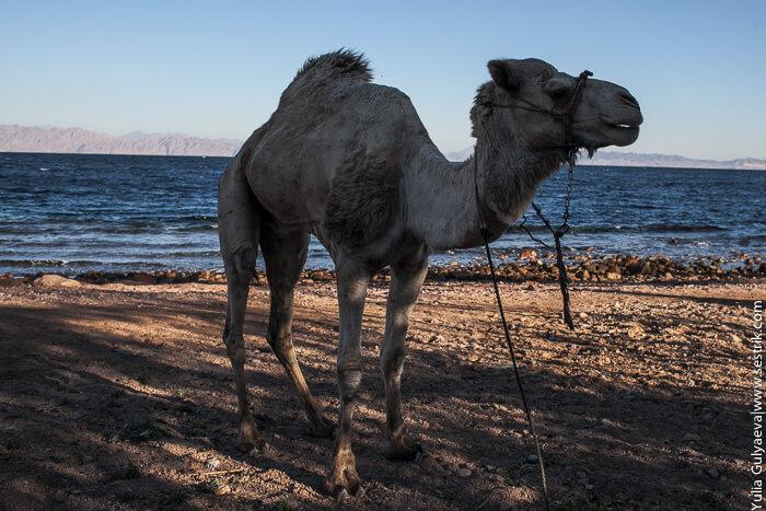 верблюд на пляже в дахаб