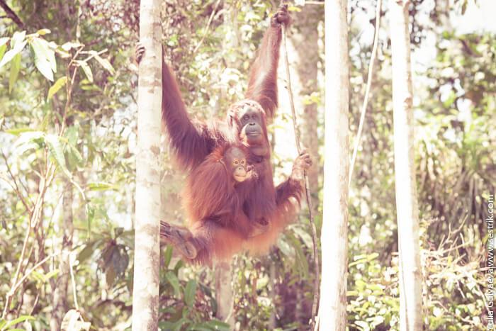 самка орангутана с дитенышем