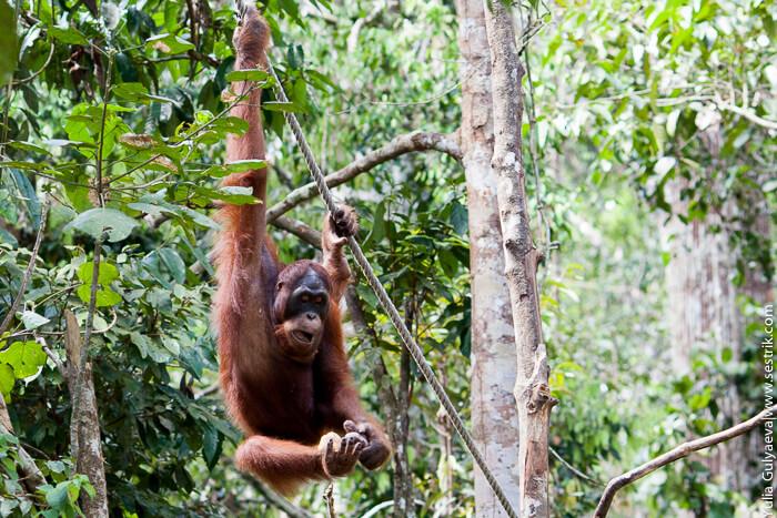 самец орангутанга