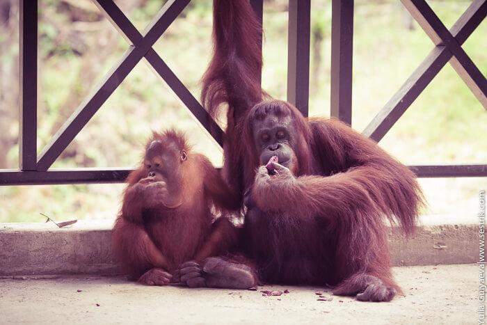 семья орангутанги