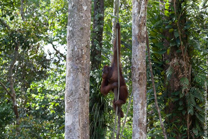 обезьяна на лиане