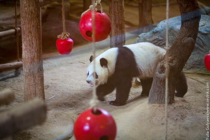 где обитают панды