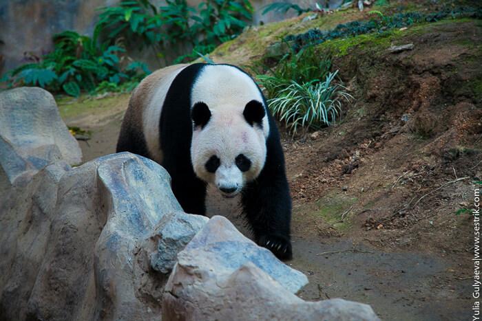 где увидеть панду