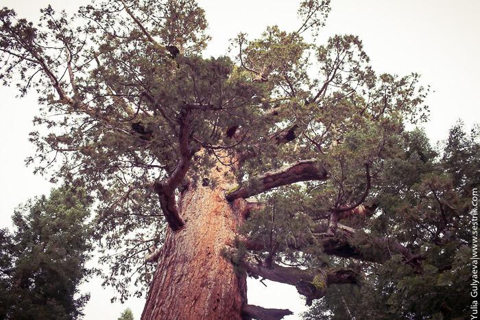 секвойя самое высокое дерево