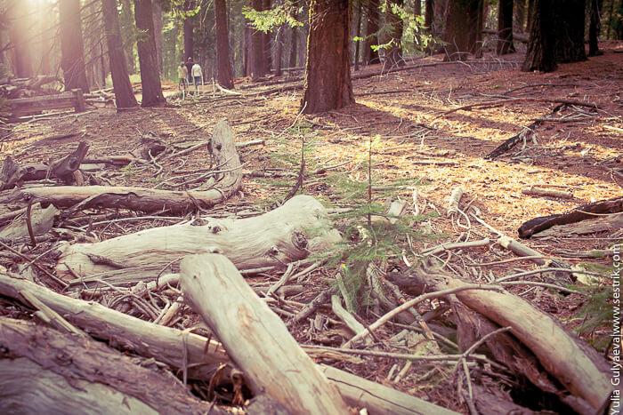 лес с секвойями