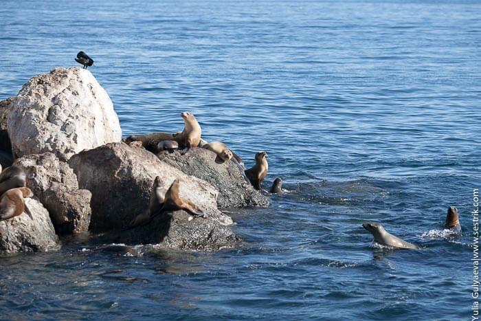 купание морских львов