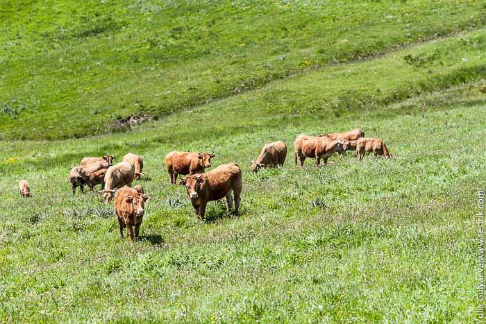 коровы в горах испании