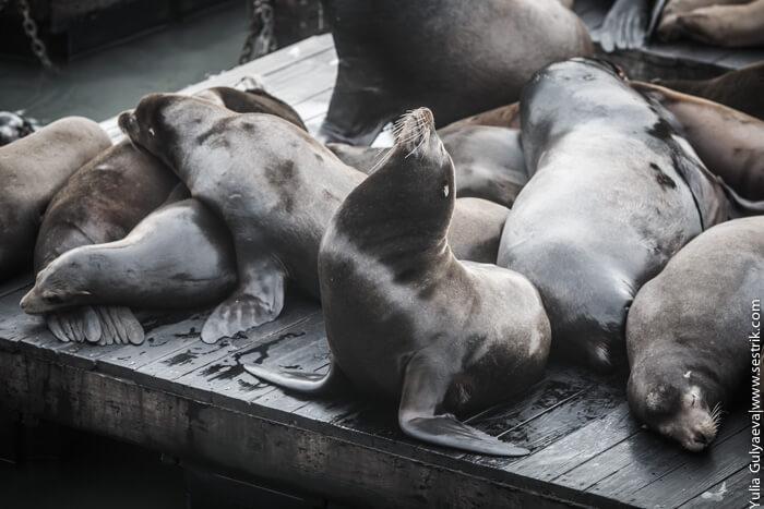 морской котик на понтоне на пирсе