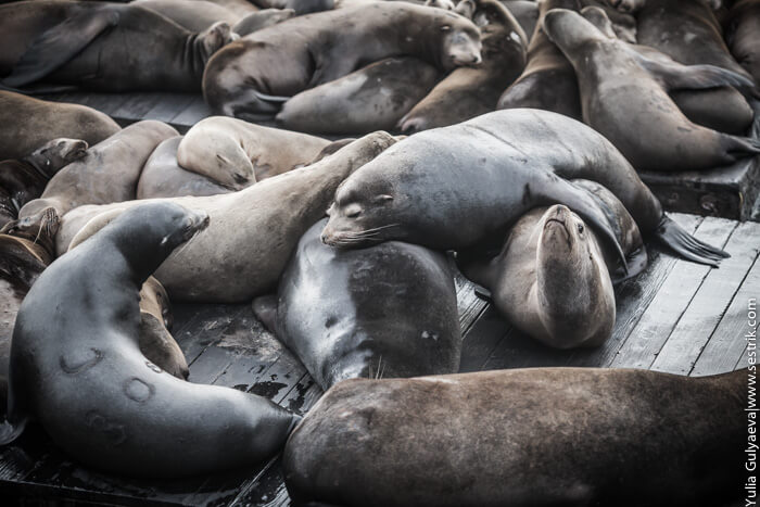 тушки тюленей