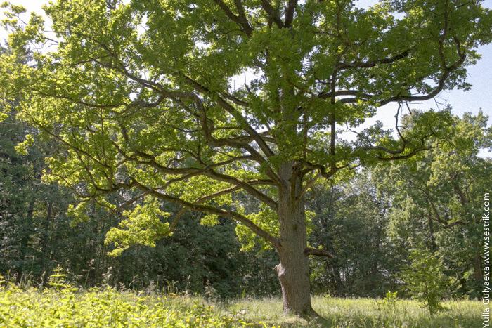 столетний дуб