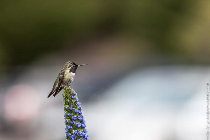 фото птицы колибри