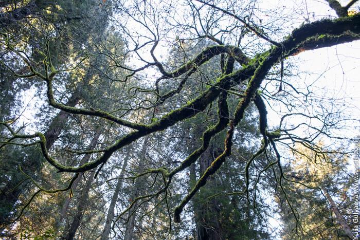 деревья в лесах америки
