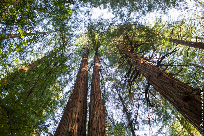 гигантские деревья