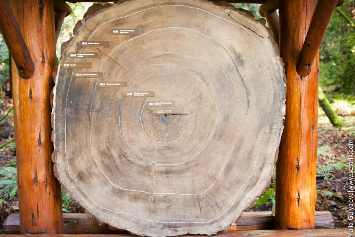 спил старого дерева