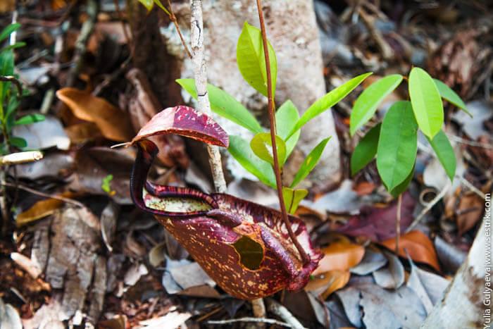 растения которые едят мух