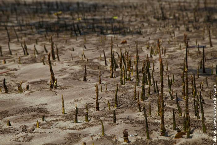 молодые побеги мангровых лесов