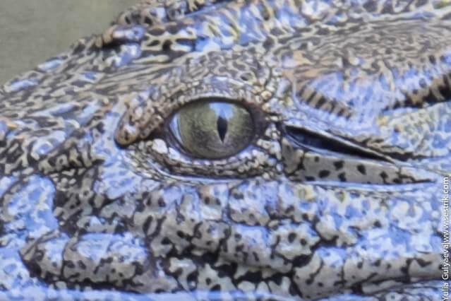глаз нильского крокодила