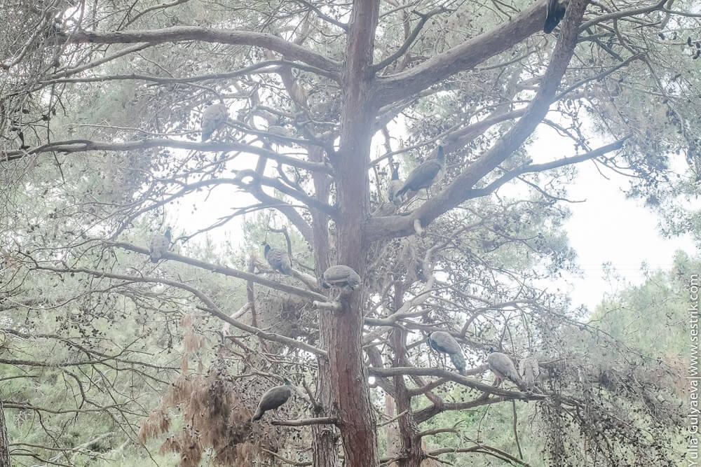 лес с павлинами на острове кос