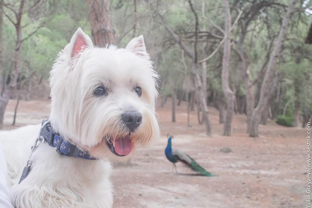 собака и павлин