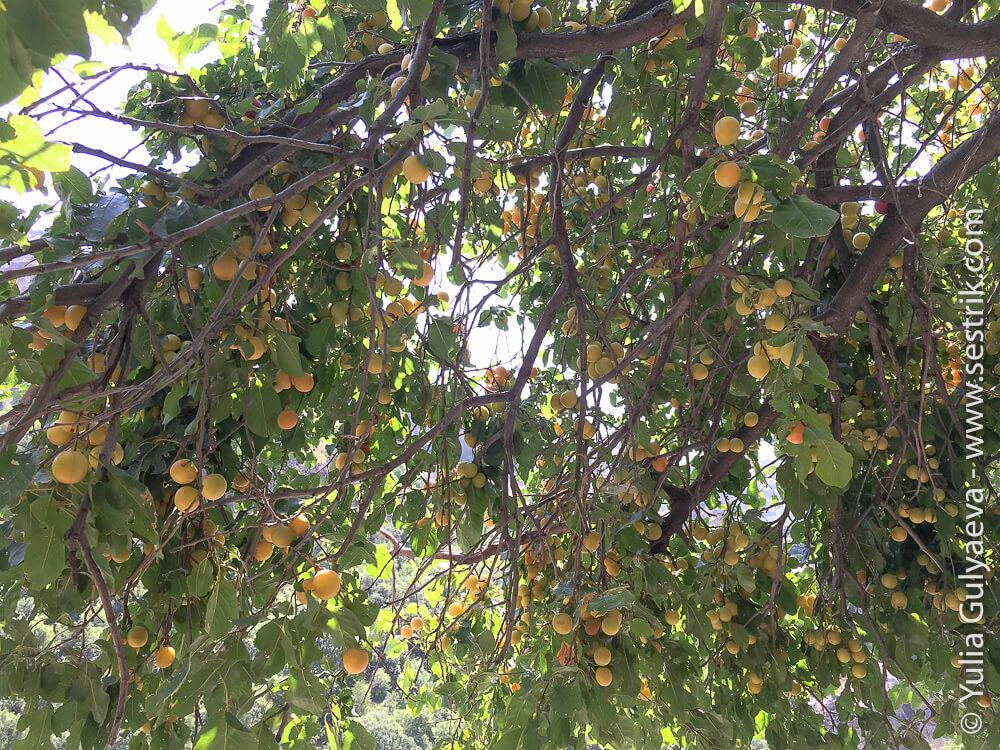фрукты в армении алыча