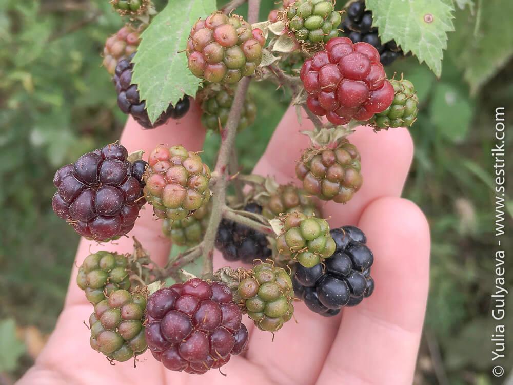 фрукты в армении ежевика