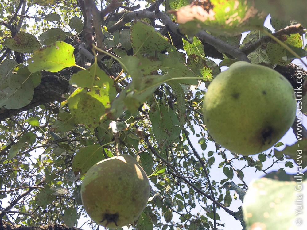 фрукты в армении груши