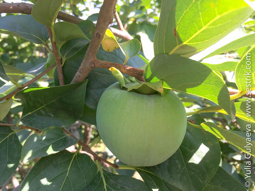 фрукты армении хурма
