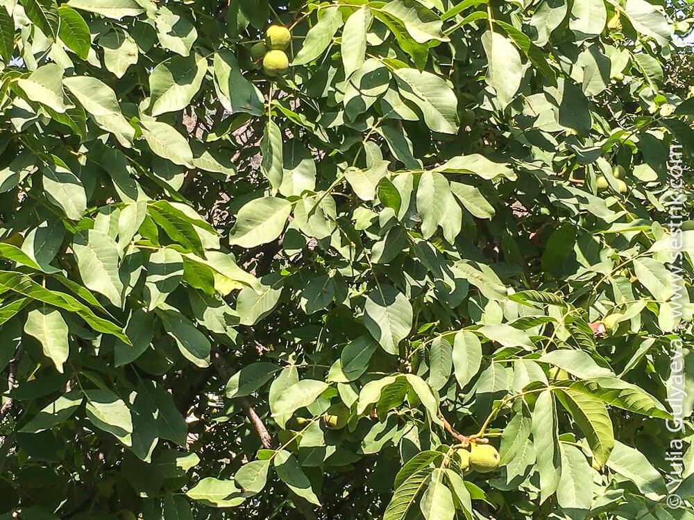 орехи в армении дерево грецкого ореха