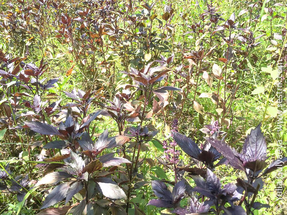 армянские травы базилик