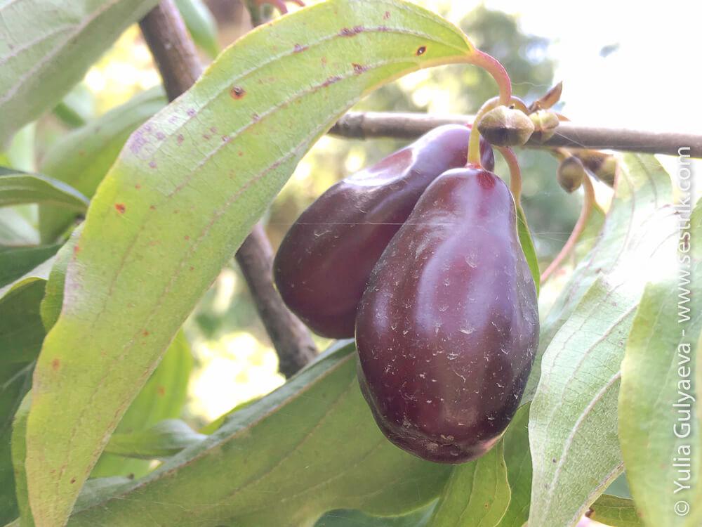 фрукты армении кизил
