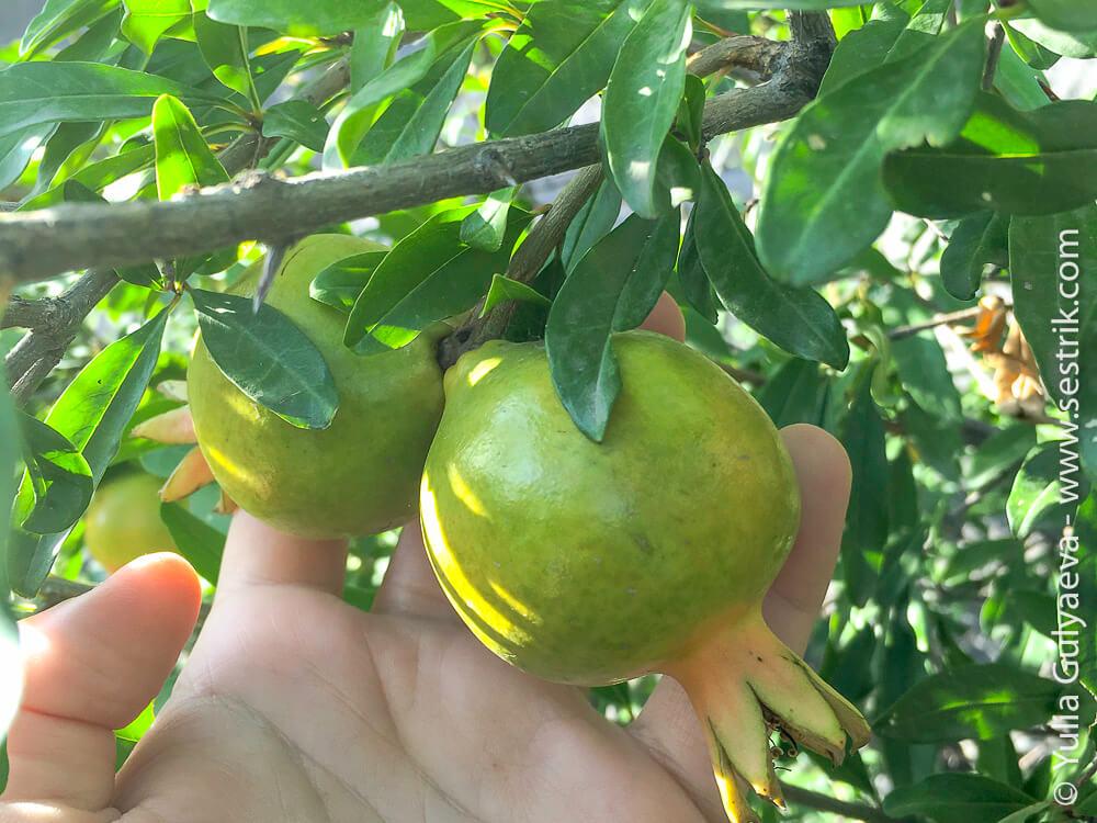 фрукты армении гранат