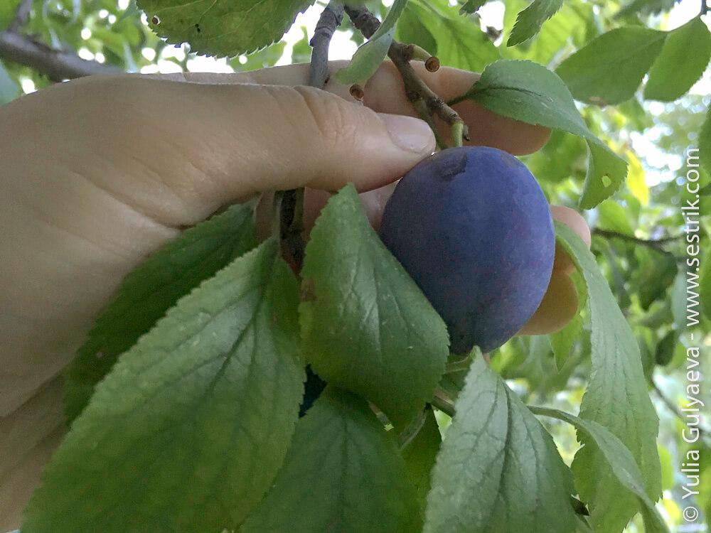 армянские фрукты сливы