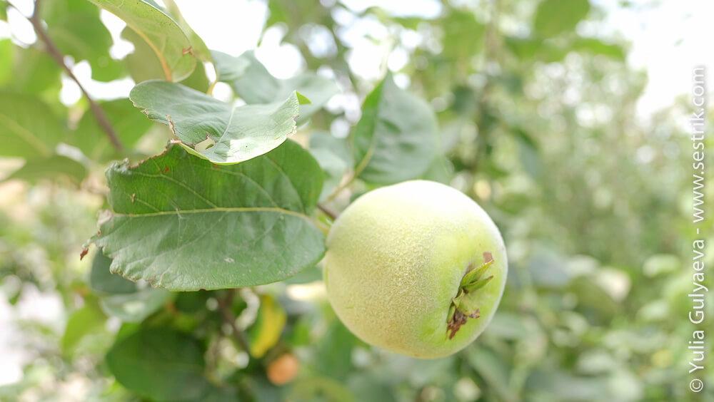 фрукты в армении мушмула