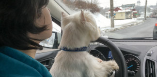 собака за рулем