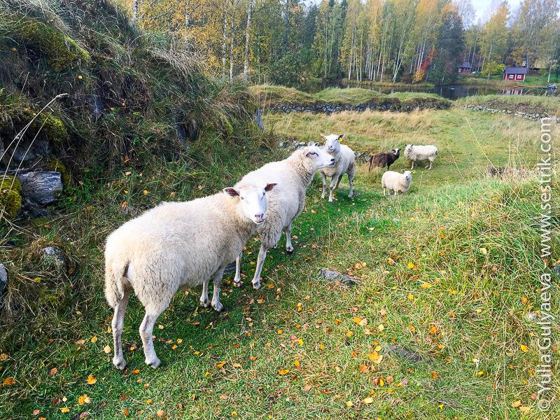 финские овечки
