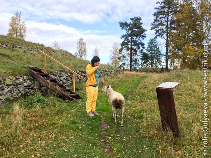 Kyarnakoski-Finland овечки