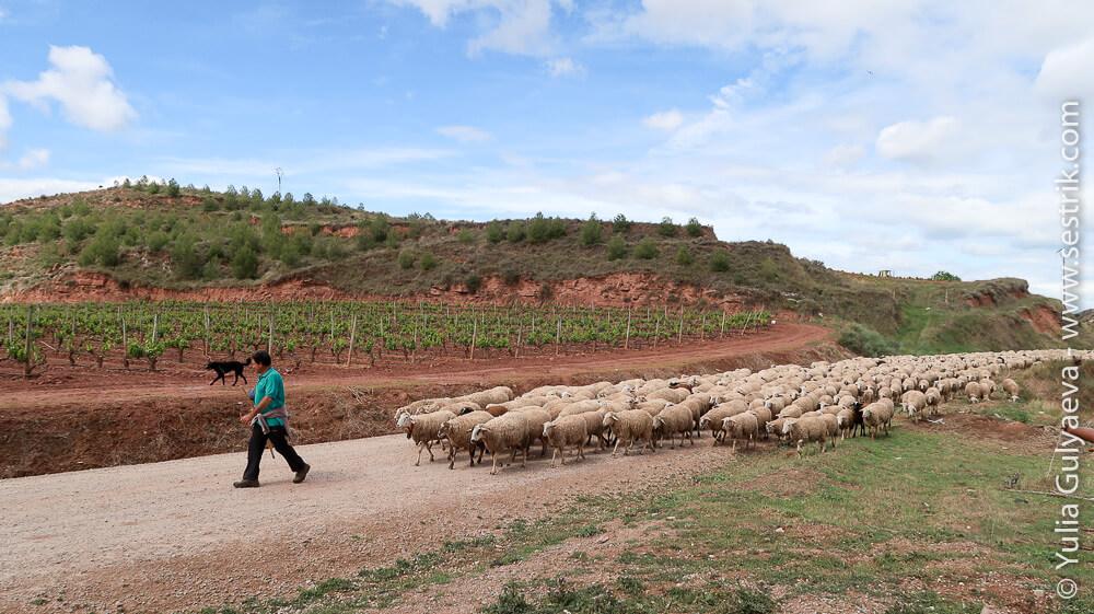 стадо баранов в Испании