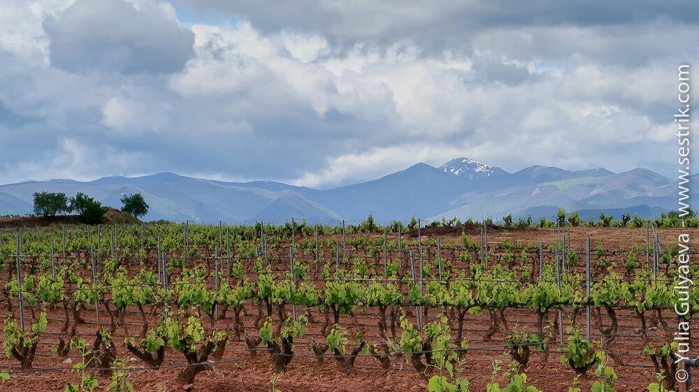 виноградники на фоне снежных гор