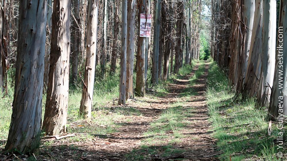 Эвкалиптовые леса в Испании