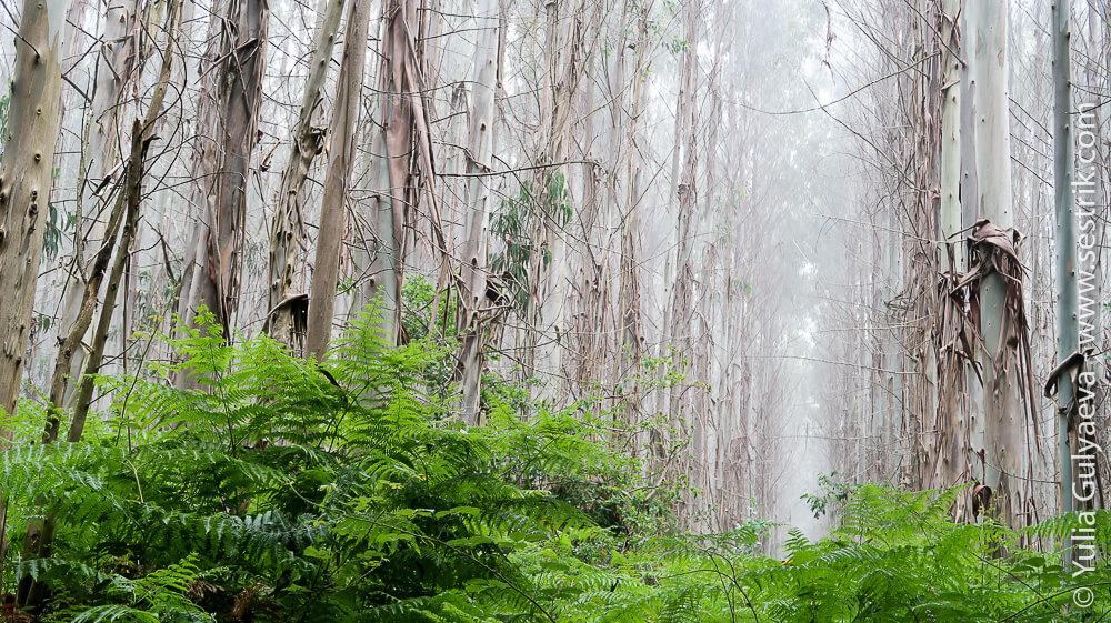 Лес эвкалиптов