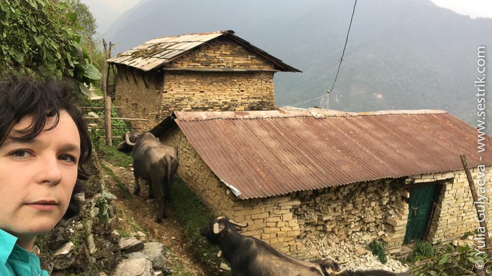 Быки в непальской деревне