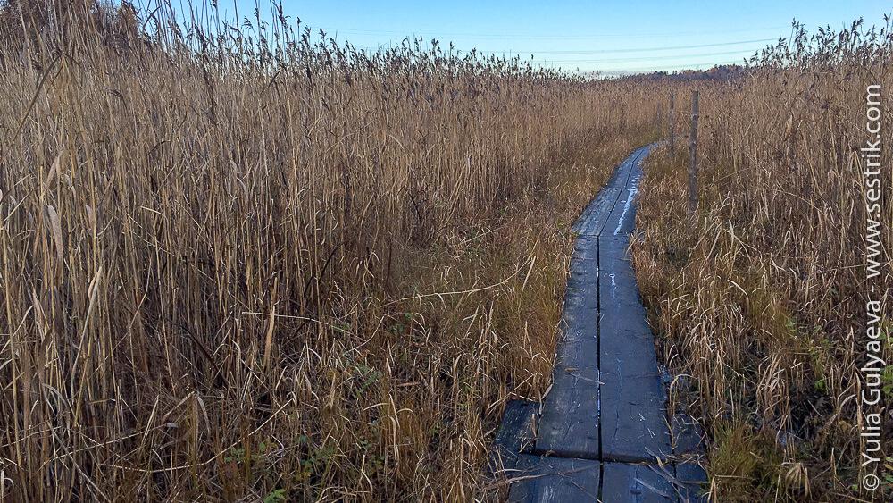 Тропа на болоте среди зарослей камыша