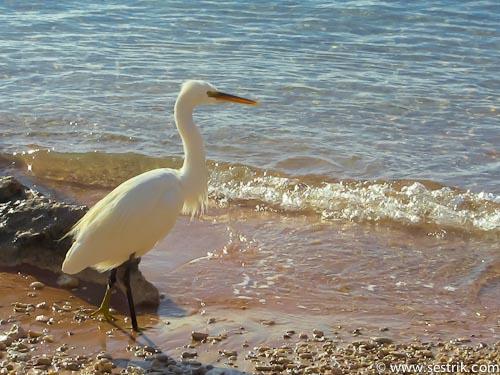 Цапля на берегу Красного моря